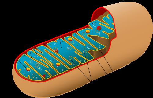 Animal_mitochondrion